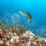 Diving madeira Snorkeling whales dolphins Kayak - ornate_wrasse_azul_diving_madeira-150x150