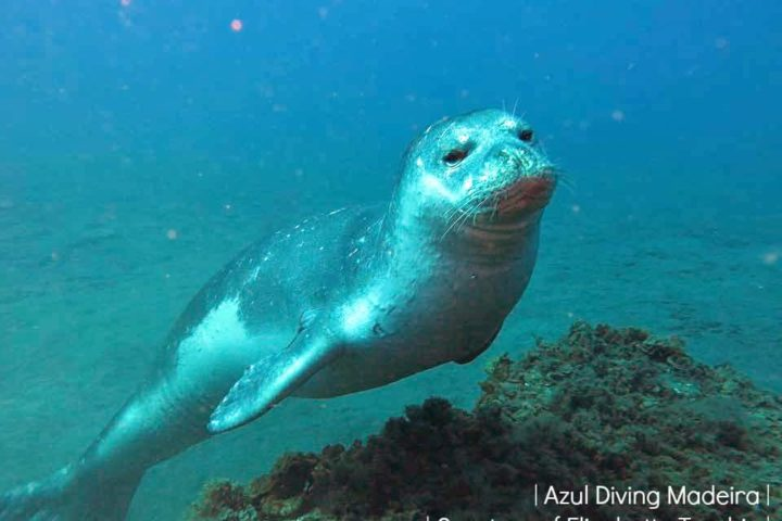 Monk_Seal_House_reef_Azul_Diving_Madeira