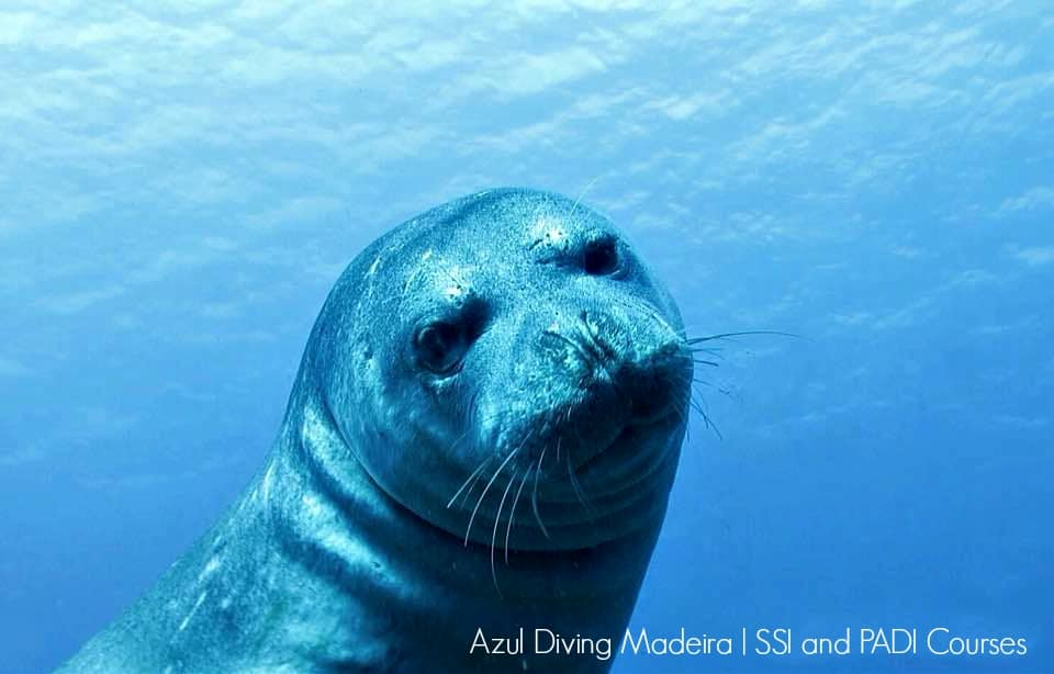 Diving madeira Snorkeling whales dolphins Kayak - Monk_seal_Azul_Diving_Madeira_1