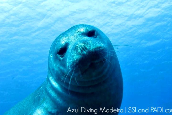 Monk_seal_Azul_Diving_Madeira_2