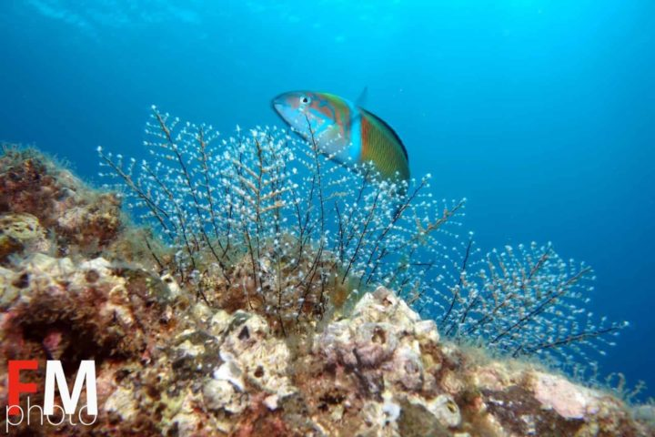 Ornate_Wrasse_Azul_Diving_Madeira