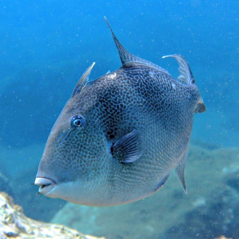 Diving madeira Snorkeling whales dolphins Kayak - Triggerfish-madeira