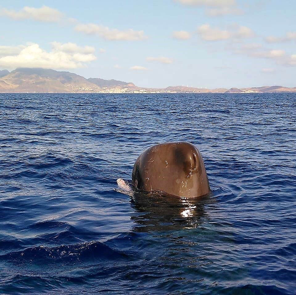 Diving madeira Snorkeling whales dolphins Kayak - sperm-whale-madeira-1