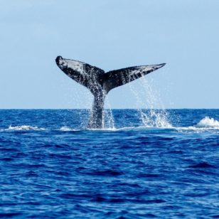 Diving madeira Snorkeling whales dolphins Kayak - whale-watching-madeira-4-308x308