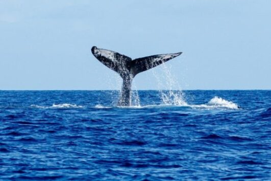 Diving madeira Snorkeling whales dolphins Kayak - whale-watching-madeira-4-e1551282393757-531x354