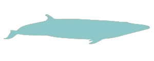 Diving madeira Snorkeling whales dolphins Kayak - brydes-whale-illustration