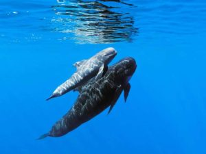 Diving madeira Snorkeling whales dolphins Kayak - research-pilot-whales-1500x630-1-300x225