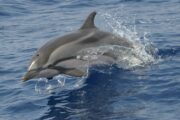striped dolphin madeira
