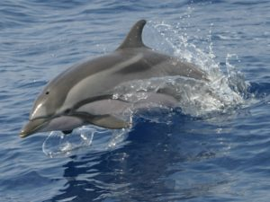 Diving madeira Snorkeling whales dolphins Kayak - striped-dolphin-300x225
