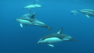 Diving madeira Snorkeling whales dolphins Kayak - school-of-dolphins-swimming-in-the-blue-atlantic-ocean-underwater-shot_h0kbpvs6_thumbnail-full07