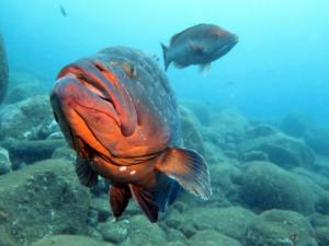 Diving madeira Snorkeling whales dolphins Kayak - Dusky_grouper_3_Azul_Diving_Center_Madeira
