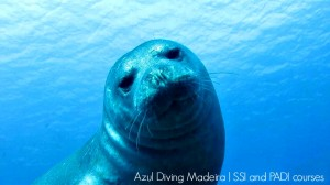 Diving madeira Snorkeling whales dolphins Kayak - Monk_seal_Azul_Diving_Madeira_2