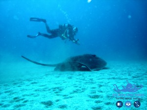 Diving madeira Snorkeling whales dolphins Kayak - roughtail_stingray